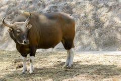 Изображение красного мужчины быка на предпосылке природы Стоковое Изображение RF
