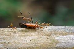 Изображение красных муравьев есть красный хлопок прослушивает на предпосылке природы стоковое изображение
