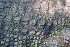 Изображение крокодиловой кожи близкое поднимающее вверх Стоковое Изображение RF