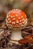 Изображение крупного плана гриба muscaria мухомора Стоковые Изображения