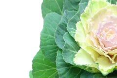 Изображение крупного плана листовой капусты Стоковое Фото