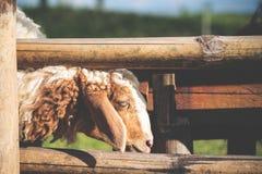 Изображение крупного плана овец есть травы в поле стоковая фотография