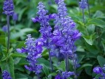 Изображение крупного плана фиолетовой лаванды цветет в поле Стоковое фото RF