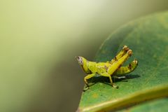 Изображение кузнечика зеленой обезьяны младенца на зеленых листьях насекомое Стоковые Изображения