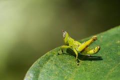 Изображение кузнечика зеленой обезьяны младенца на зеленых листьях Стоковые Изображения RF
