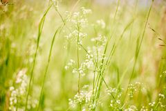 Изображение лета или макроса весны яркое с травой и дикими белыми цветками стоковая фотография rf