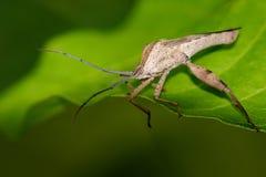 Изображение Лист-footed черепашки на зеленых листьях насекомое Стоковое Изображение