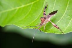 Изображение Лист-footed черепашки на зеленых листьях насекомое Стоковое Изображение RF