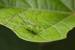 Изображение лист Katydid зеленого кузнечика малых зеленых , Orthelimae Стоковое Изображение
