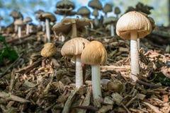 Изображение макроса 3 бежевое toadstools Стоковое Фото