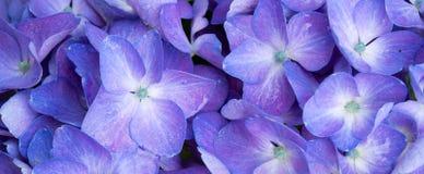 Изображение макроса голубого цветка гортензии Стоковая Фотография RF