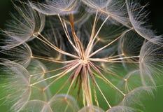 Изображение макроса головы семени одуванчика Стоковые Фотографии RF