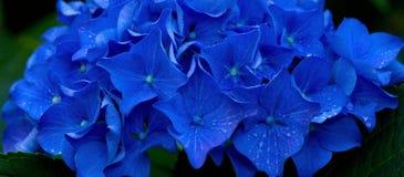 Изображение макроса голубого цветка гортензии Стоковая Фотография