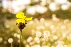 Изображение макроса желтой предпосылки поля белых цветков полевого цветка и нерезкости Стоковая Фотография