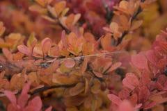 Изображение макроса листьев красного цвета и апельсина и сеть паука с пауком от взгляда со стороны Сфотографированный в осени Стоковое Фото