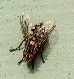Изображение макроса конца-вверх мухы плоти Стоковые Фотографии RF
