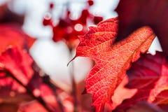 Изображение макроса красных листьев осени Стоковые Фото