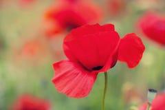 Изображение макроса красных цветков мака Стоковое Изображение