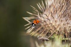 Изображение макроса красных ladybugs в конце thistles Стоковые Фотографии RF
