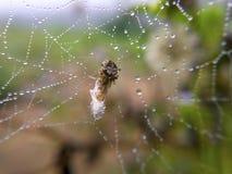 Изображение макроса малого паука на росном гнезде и свое baitn w Стоковые Фотографии RF