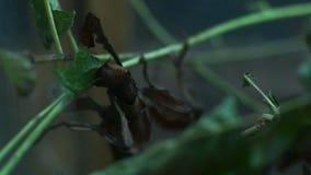 Изображение макроса общего зеленого mantis на зеленых лист акции видеоматериалы