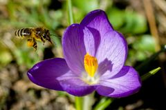 Изображение макроса пчелы собирая цветень стоковое фото