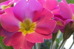 Изображение макроса розовых первоцветов Стоковое фото RF