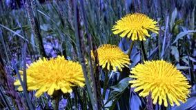 Изображение макроса ярких желтых цветков одуванчика Стоковая Фотография