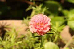 изображение маленького розового охотника Стоковая Фотография