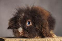 Изображение милого усаживания зайчика кролика головы льва Стоковые Изображения