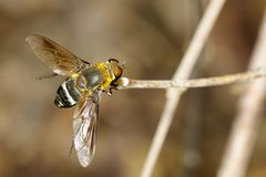 Изображение мухы пчелы на коричневой ветви насекомое Животное Стоковое Фото