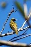 Мыжская птица ткача плащи-накидк на ветви Стоковое Изображение RF