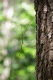 Изображение насекомого ручки Сиама гигантского на дереве насекомое Стоковые Изображения RF