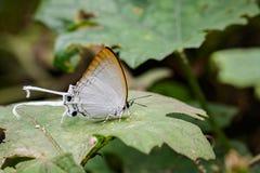 Изображение общего lmperial evansi freja Cheritra бабочки Стоковые Фото