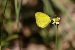 Изображение общей бабочки желтого цвета травы Стоковое фото RF
