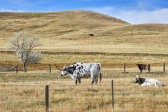 Изображение лонгхорнов Техаса пася на сухом выгоне осени Стоковое Изображение RF