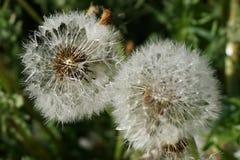Изображение одуванчиков с семенами стоковые изображения
