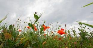 Изображение панорамы поля с маком Стоковое Фото