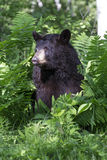 Изображение портрета черного медведя Стоковые Изображения