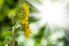 Изображение поля солнцецвета против конца-вверх солнца Стоковое Изображение RF