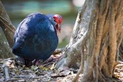 Изображение птицы pukeko на предпосылке природы Стоковое Изображение RF