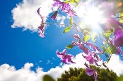 Изображение пурпуровых clemetis против голубого неба и солнца. Стоковое Фото