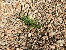 Изображение пусканной ростии травы через гравий, гранит стоковые фотографии rf