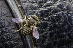 Изображение пчелы на черном кожаном месте насекомое Стоковые Изображения RF