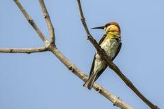 Изображение Пчел-едока зеленого цвета птицы на ветви Стоковое Изображение