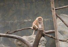 Изображение резуса коричневого цвета monkeys на предпосылке природы Стоковые Фото