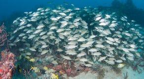 Изображение рыб на рифе в южной Флориде Стоковые Изображения