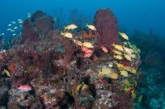 Изображение рыб на рифе в южной Флориде Стоковое Изображение RF