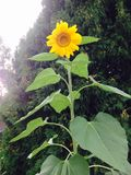 Изображение солнцецвета Стоковая Фотография RF
