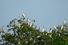 Изображение стад egrets на деревьях Стоковые Изображения RF